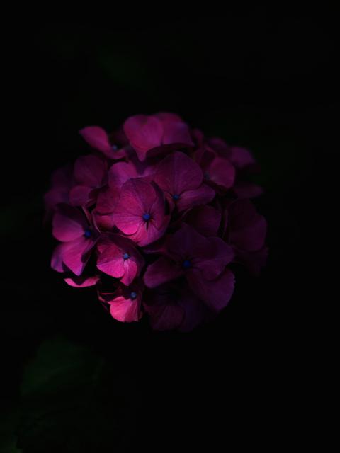 M6153893_ macrophylla_2048x1536.jpg